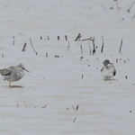 Shorebirds thumbnail