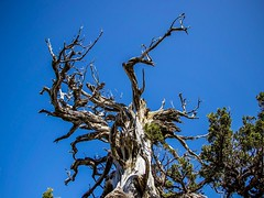 Reach For The Sky (Mad Cow Imagery) Tags: canonefs18135mmf3556isstm canoneos80d mediterranean europe sky tree blackpinetree mountolympus troodos cyprus
