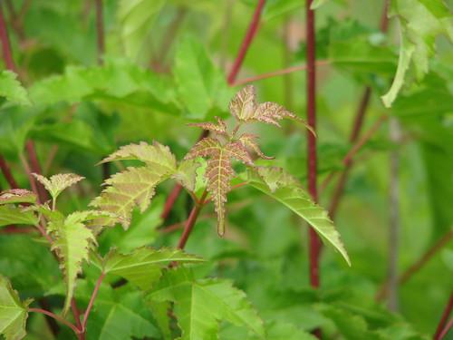 Amur Maple - colored leaves & stems - Tarry Edington
