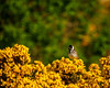 Lossie-180528-5285325.jpg (mike_reid.5710) Tags: bunting reedbunting lossie scotland wildlife birds morayfirth lossiemouth unitedkingdom gb