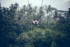 BALI, INDONESIA - DECEMBER 26, 2017: Man having fun on the swing with action camera in the jungle of Bali island, Indonesia. Rainforest, swing. (Artem Bali) Tags: editorial swing fun man jungle nature tree young travel green person outdoor summer swinging adrenaline camera action leisure rainforest rope tropical adventure beautiful island lifestyle tourism vacation view cloud hanging hair palm healthy slope playing play scary forest landscape background tourist garden frombelow ride bali wood high eruption scenery teenager