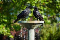 Zwei Krähen / Two Crows (R.O. - Fotografie) Tags: krähen krähe crows crow springbrunnen brunnen fountain wasser water animals tiere vögel birds rofotografie outdoor wildlife action natur nature panasonic lumix dmcfz1000 dmc fz1000 fz 1000