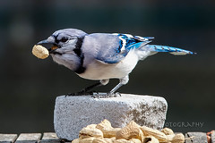 Peanuts!!!  Gitcher Peanuts!!! (jah32) Tags: peanuts blue bluejay bluejays birds bird brick bricks onthetable inmybackyard onthedeck bokeh lunch