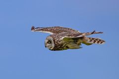 Short eared owl (Terry Angus) Tags: owl shortearedowl short eared skomerisland wales