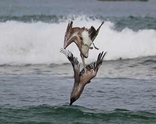 Diving Pelicans ©- Click to view large