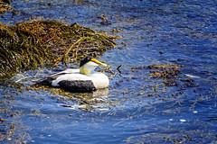 Common Eider 6576 (rayclark1) Tags: animal object plant bird commoneider duck rock seaweed