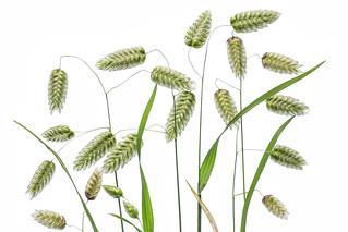 Quaking grass