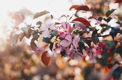 Blossom I (AzureFantoccini) Tags: bloom blossom flowers spring russia moscow nature garden cherry tree sun sunset park bokeh light sonynex