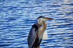 Blue Heron (g_4life101) Tags: sony alpha a6000 icle6000 sel55210 heron greatblueheron bird birds florida southflorida