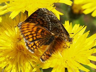 Melitaea athalia (in copula) - Heath fritillary (mating) - Шашечница аталия (спаривание)