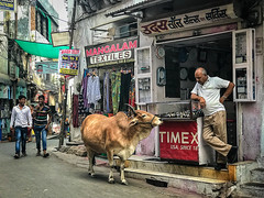 Udaipur, India (by Amy Davies, Plymouth, MA) Tags: 2018 cows india march streetphotography travel udaipur iphone7plus shopkeeper