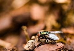 Shiny Green Fly (happad fotografie) Tags: field of depth dof oranje groen buiten vlieg glimend shiny orange red wings green garden housefly fly backyard outside 105mm d610 nikkor nikon micro closeup macro