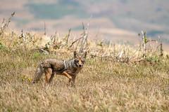 Coyote #108 (lennycarl08) Tags: pointreyesnationalseashore pointreyes coyote animalplanet animals wildlife nature northerncalifornia