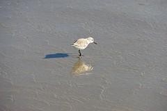 Snowy Plover (neil.dalphin) Tags: yellow bird birds seashore waterbird waterfowl