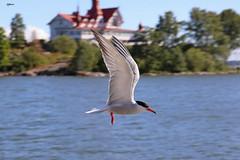 Helsinki 23.6.2018 (Vikuri) Tags: helsinki suomi kaivopuisto canon nature city capital 2018