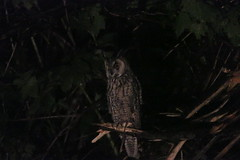 "Long-eared Owl • <a style=""font-size:0.8em;"" href=""http://www.flickr.com/photos/63501323@N07/29093573338/"" target=""_blank"">View on Flickr</a>"
