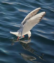 IMG_0534 (alexandros9) Tags: lavrium fishing port seagull birds attica greece ngc npc
