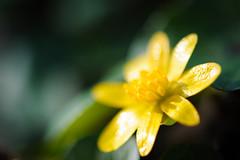 Reflector II (Ir3nicus) Tags: 105mm28vr ausen blume blüte makro nahaufnahme natur pflanze gelb geldern nordrheinwestfalen deutschland de butterblume buttercup afsvrmicronikkor105mm128gifed nikon dslr d700 fullframe fx outdoor flower blossom macro closeup nature plant yellow germany