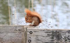 écureuil roux (tineandthecats@gmail.com) Tags: écureuil roux