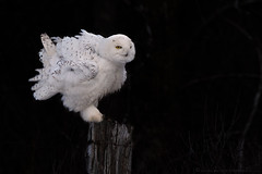 Fluffing Up (NicoleW0000) Tags: snowyowl owl feathers fluffy white darkbackground wildlife nature outdoor photography canoneos ontario canada