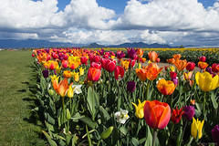 20170420IMG_9615.jpg (nansiejo) Tags: mountvernon skagitvalley daffodils grass hills field clouds flowers tulips