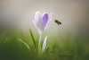 Eat me (der_peste (on/off)) Tags: bee crocus flower spring springtime macro proxy insect blur depthoffield dof sonya7m2 sigmaart13518 135mm f18