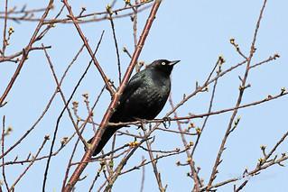 Brewer's Blackbird 18-0331-0172