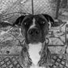 Splinter08Apr201872-Edit.jpg (fredstrobel) Tags: dogs pawsatanta phototype atlanta blackandwhite usa animals ga pets places pawsdogs decatur georgia unitedstates us