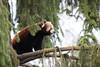 Red panda (Cloudtail the Snow Leopard) Tags: ailurus animal bär bärenkatze eat eating feuerfuchs firefox fulgens goldhund katzenbär kleinbär kleiner mammal panda red roter säugetier tier zoo amneville