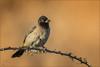 Gelbsteißbülbül (White-spectacled bulbul) (tzim76) Tags: gelb gelbsteisbülbül pycnonotus xanthopygos whitespectacled bulbul wildlife nature outdoor birding freistellung israel warm