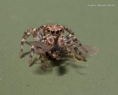 Tiny Jumping Spider Eating (strjustin) Tags: jumpingspider arachnid spider insect bug macro