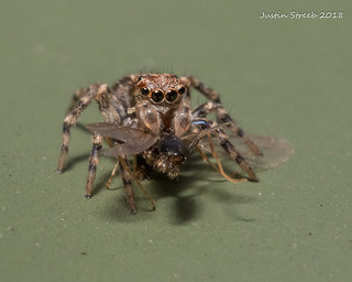 Tiny Jumping Spider Eating