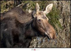 Orignal   EXPLORE 18-04-14 (dios photographie) Tags: orignal moose bassaintlaurent notredameduportage cervidé forêt canon canon7dmkii canon7dmarkii canon7dii 7dmkii 7dmarkii 7dii sigma sigma150600 sigma150600dgoshsmsport sigma150600s