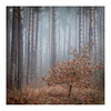 _57A2835 (ciollileach) Tags: woodland landscapephotography landscape sherwoodforest trees arboreal pines mist atmosphere beech copperbeech silverbirch