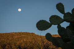 Moonrise (Elaine Schwetz Photography) Tags: cactus nationalpark saguaro moon bluelight evening