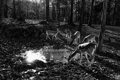 Fallow Deer at water...IMG_4480A (dklaughman) Tags: safari fallow deer virginia blackwhite bw