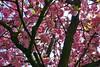 Kirschblüten (mama knipst!) Tags: kirschblüte cherryblossom april bonn