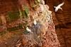Dangerous nests // Gefährliche Nester (Zoom58.9) Tags: felsen klippen steine netz fischernetz nest vogelnester vogel vögel basstölpel meeresvogel tölpel wasservogel brüten tiere wildtiere europa deutschland helgoland nordsee rot rock cliffs stones nets fishingnets nests birdnest bird birds gannets seabird fool waterfowl breed animals wildlife europe germany northsea red insel island landschaft landscape natur nature canon eos 50d