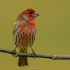 House Finch / Haemorhous mexicanus (Rafael Arvelo C.) Tags: pajaros usa pennsylvania backyard housefinch haemorhousmexicanus