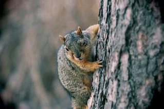 Squirrel, Morton Arboretum. 423 (EOS)