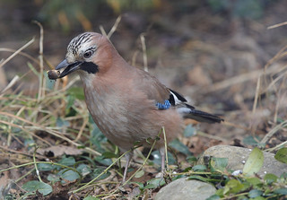 JAY ....Powys....Press L for large.