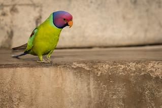 Plum-headed Parakeet | Psittacula cyanocephala