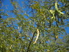 Cabo Verde Cape Verde Ilha de Santiago Island Porto de Ribeira da Barca Acacia © Kapverden Kapverdische Inseln Kap Verde Akazie © (hn.) Tags: acacia acacias africa afrika akazie baum caboverde capeverde frucht fruit ilha insel island kapverde kapverden kapverdischeinseln macaronesia pflanze plant portoderibeiradabarca ribeiradabarca sotavento tree wattles westafrica westafrika heiconeumeyer copyright copyrighted