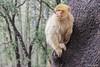 Mono blanco de Gibraltar en Marruecos (Casimemato) Tags: mono blanco macaco white gibraltar marruecos arbol tree
