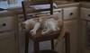 Otis (rootcrop54) Tags: otis dilute orange ginger tabby male cat pink cabinets kitchen tallchair neko macska kedi 猫 kočka kissa γάτα köttur kucing gatto 고양이 kaķis katė katt katze katzen kot кошка mačka gatos maček kitteh chat ネコ