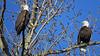 American Bald Eagles (shesnuckinfuts) Tags: americanbaldeagle baldeagle haliaeetusleucocephalus riverbendeagles kentwa march2018 shesnuckinfuts nature wildlife birds eagles birdofprey raptor