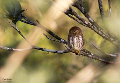Ferruginous Pygmyt-owl (Glaucidium brasilianum)