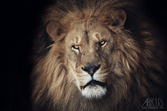Lion (Ark. Us.) Tags: lion big cat bigcat feline red eyes black contrast portrait mammal closeup pentax