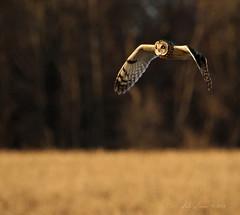 Every Shade of Brown (CrowInFlight) Tags: rural newyork shortearedowl owl bird farmland raptor birdsofprey flight animal grass field