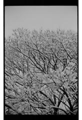 P60-2018-004 (lianefinch) Tags: argentique argentic monochrome blackandwhite blackwhite bw noirblanc noiretblanc nb nature analogique arbre tree analog jardin garden hiver winter snow neige frozen gelé
